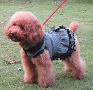 泰迪毛很乱怎么办 泰迪犬毛打结怎么办